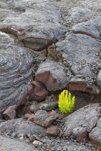 Plant in lava