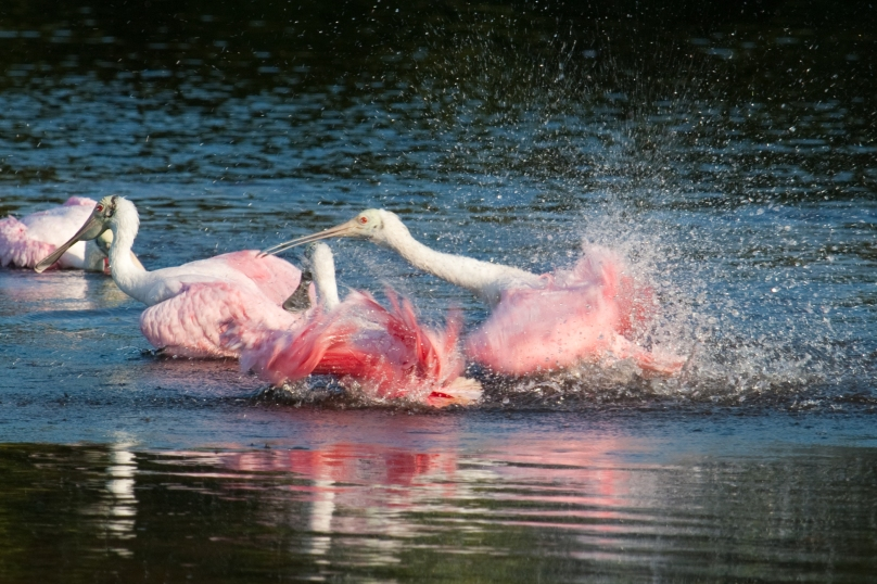 Roseate Spoonbills take a bath