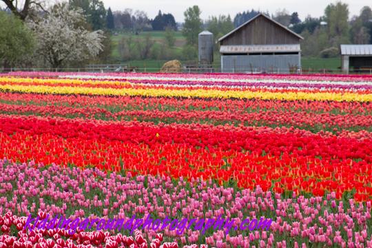 Tiptoe Through the Oregon Tulips (1/6)