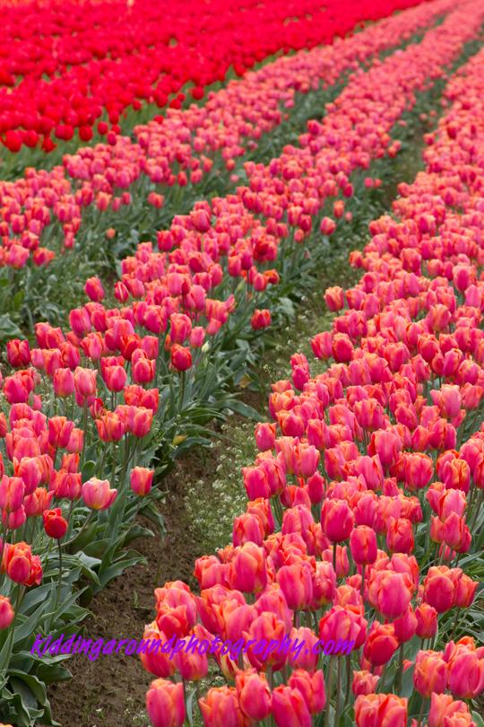 Tiptoe Through the Oregon Tulips (4/6)