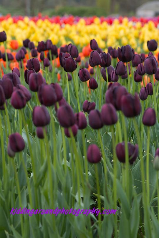 Tiptoe Through the Oregon Tulips (3/6)