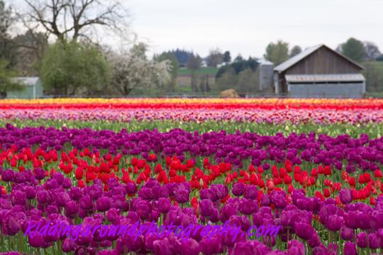 Tiptoe Through the Oregon Tulips (5/6)