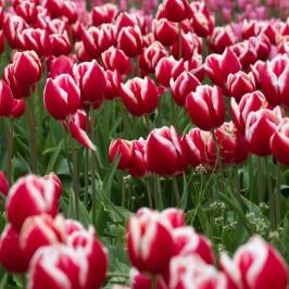 Leen van der Mark Tulips