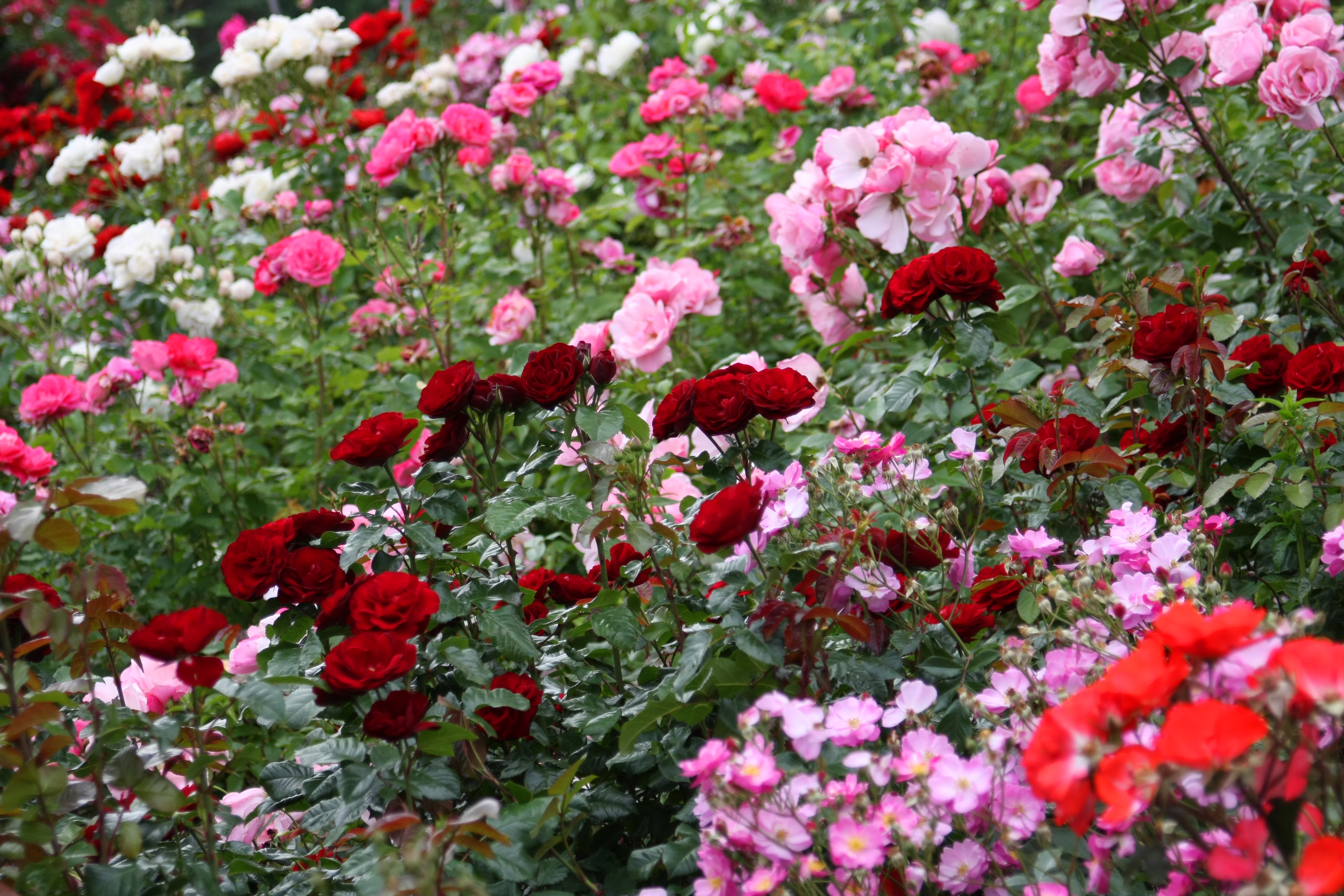 Visiting portland our top five sights and more a week or a weekend - Rose cultivars garden ...