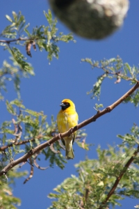 Southern Masked Weaver, South Africa