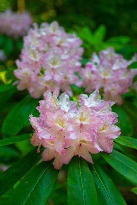 Rhododendrons were in full bloom