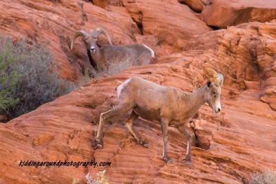 Bighorn sheep pair