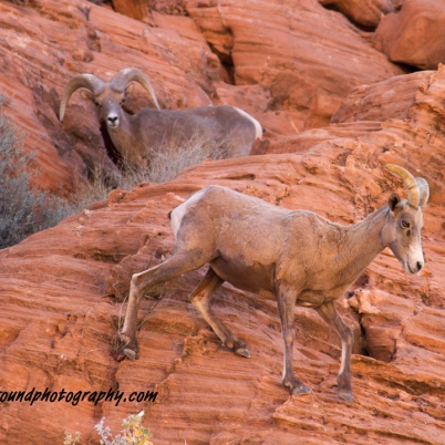 Bighorn sheep pair