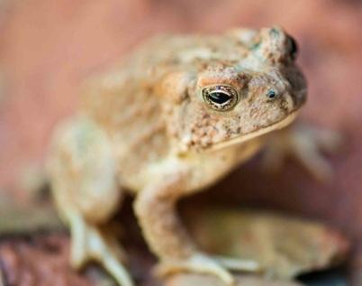 Taylor Creek toad