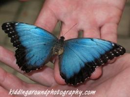 Blue Morpho, my favorite butterfly, Monteverde Costa Rica