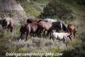Herd of wild horses Teddy Roosevelt National Park