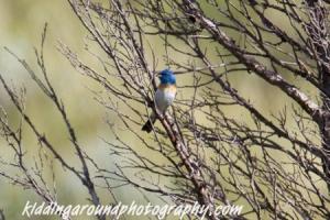 Birdnerd alert! It's a Lazuli Bunting, Teddy Roosevelt National Park