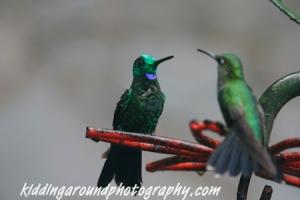 Mirrored hummingbirds, hummingbird garden, Monteverde Costa Rica