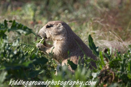 Prairie dog salad bar