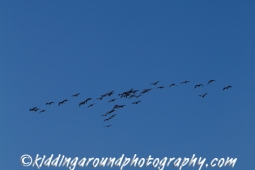 Canada Geese in flight.