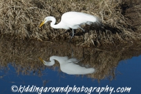 Great Egret fishing.