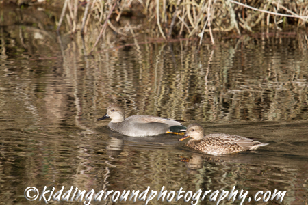 Gadwalls swimming in a side channel.
