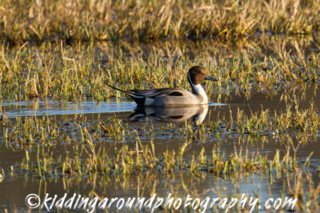 Northern Pintail at the wildlife refuge