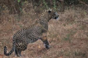 A leopard!