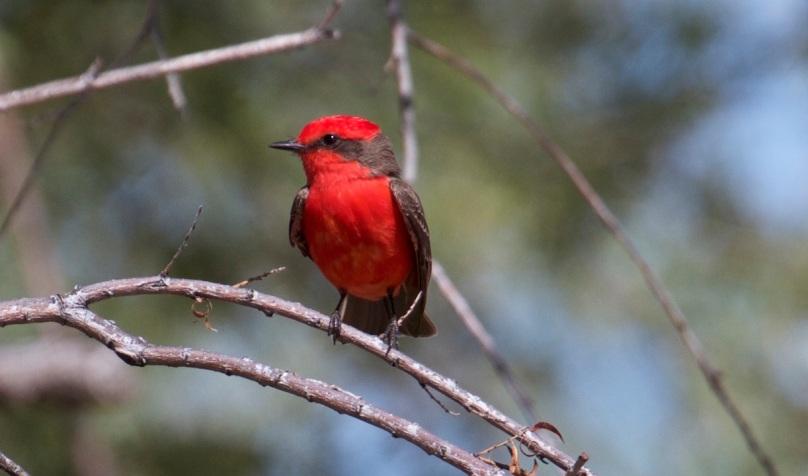 Vermilion Flycatcher, Patagonai, AZ