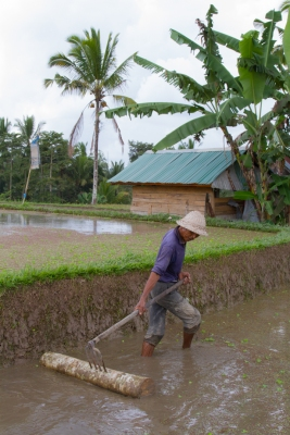 Leveling the rice fields
